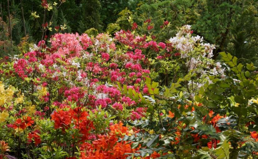 Die Rhododendren blühen in allen Farben