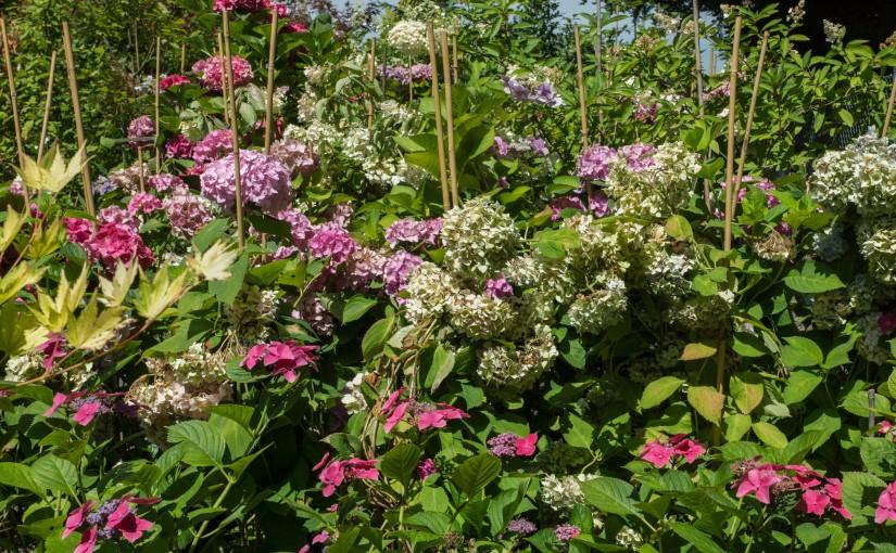 Hortensie, Hydrangea, Wasserstrauch