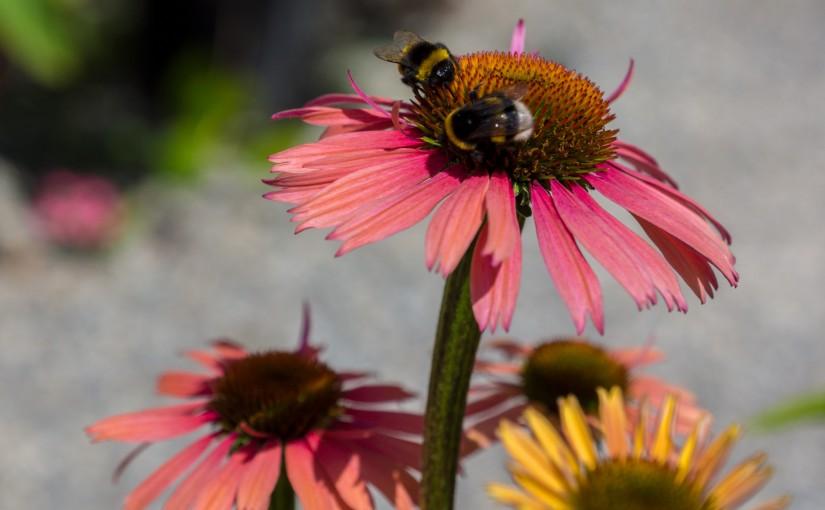 Echinacea, Sonnenhüte, Igelköpfe
